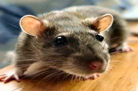 افضل شركة مكافحة فئران بالرياض