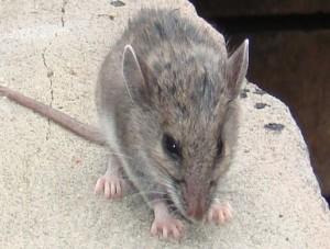شرطة مكافحة فئران