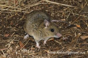 شركة مكافحة لفئران بالجبيل