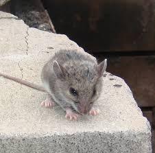 شركة مكافحة الفئران بالخبر