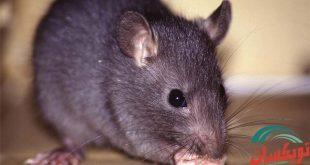 شركة مكافحة الفئران بالقطيف