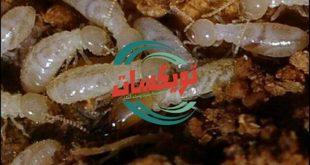 شركة مكافحة النمل الابيض بتبوك