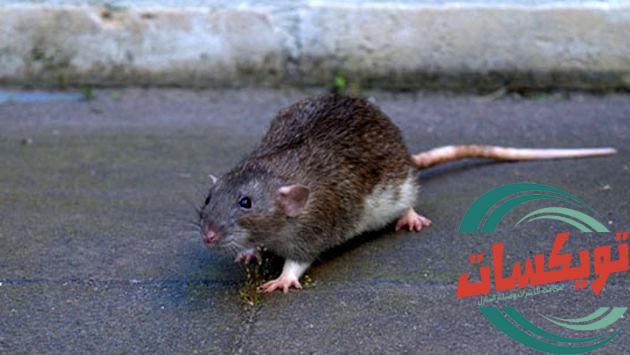 شركة مكافحة الفئران بالاحساء