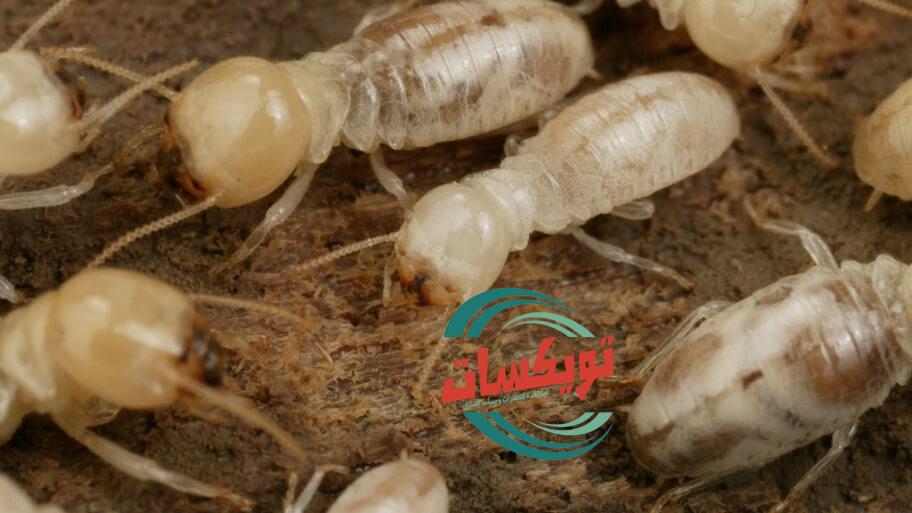 شركة مكافحة النمل الابيض بابها