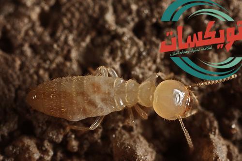 شركة مكافحة النمل الابيض بالقصيم