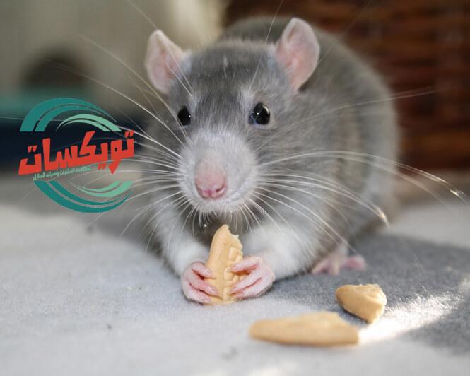 Photo of شركة مكافحة الفئران بجدة
