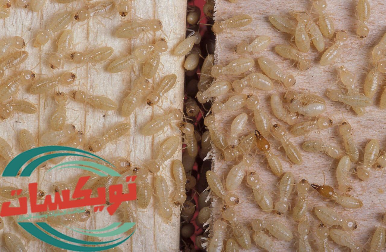 كيفية التخلص من النمل الابيض