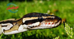 شركة مكافحة الثعابين بالنعيرية