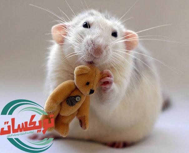 شركة مكافحة الفئران بخميس مشيط