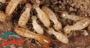 شركة مكافحة النمل الابيض بالحديثه