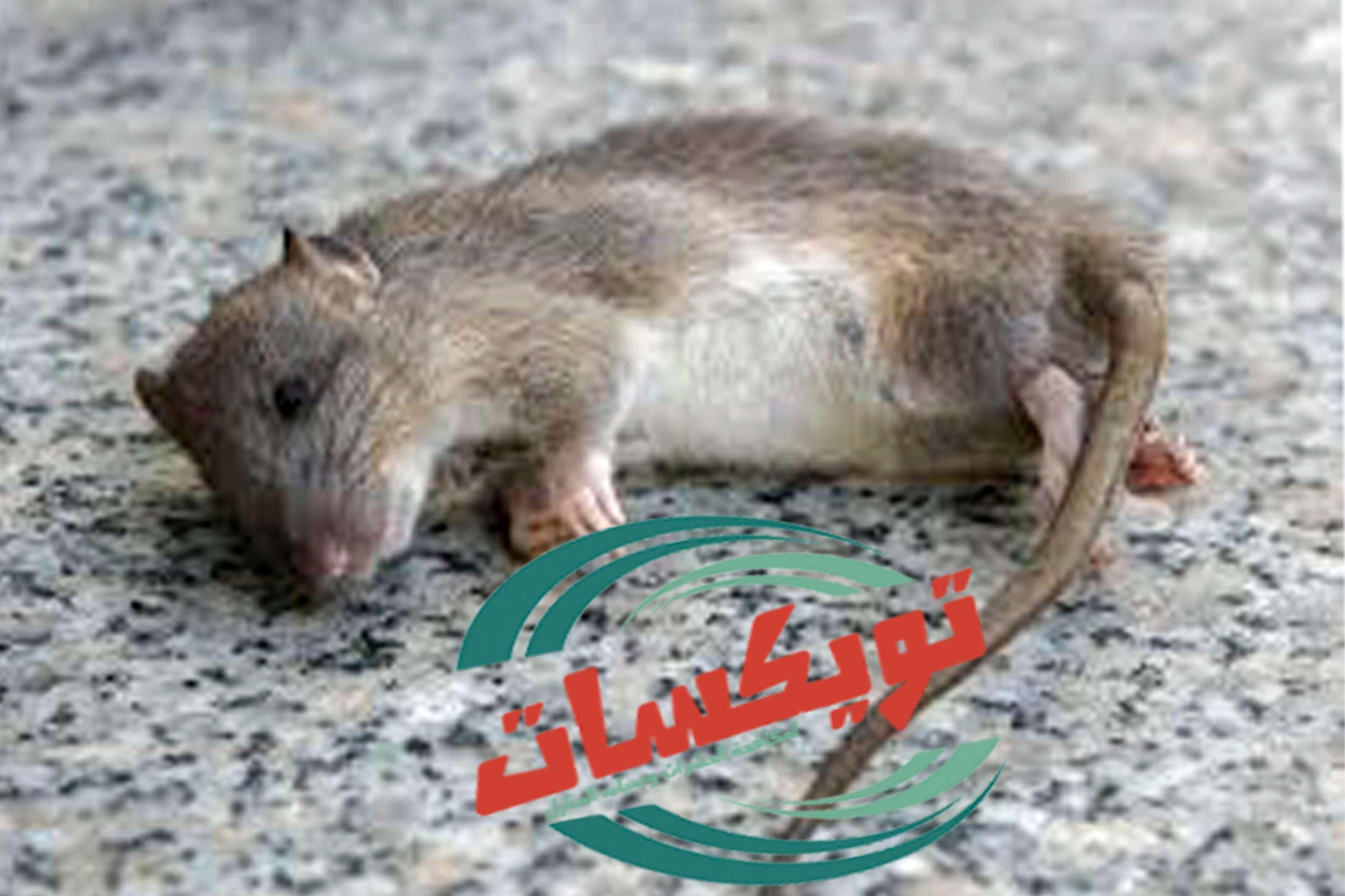 شركة مكافحة الفئران بالرويضه