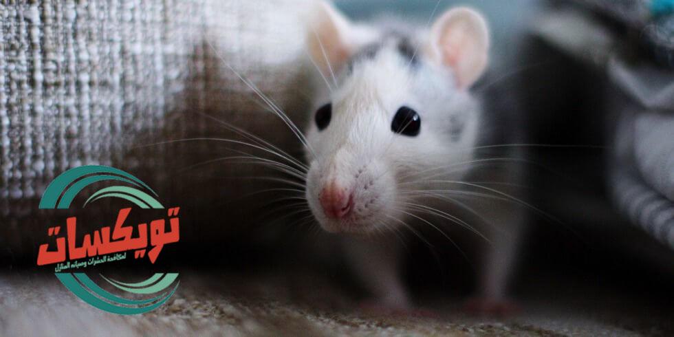 شركة مكافحه الفئران بحلبان