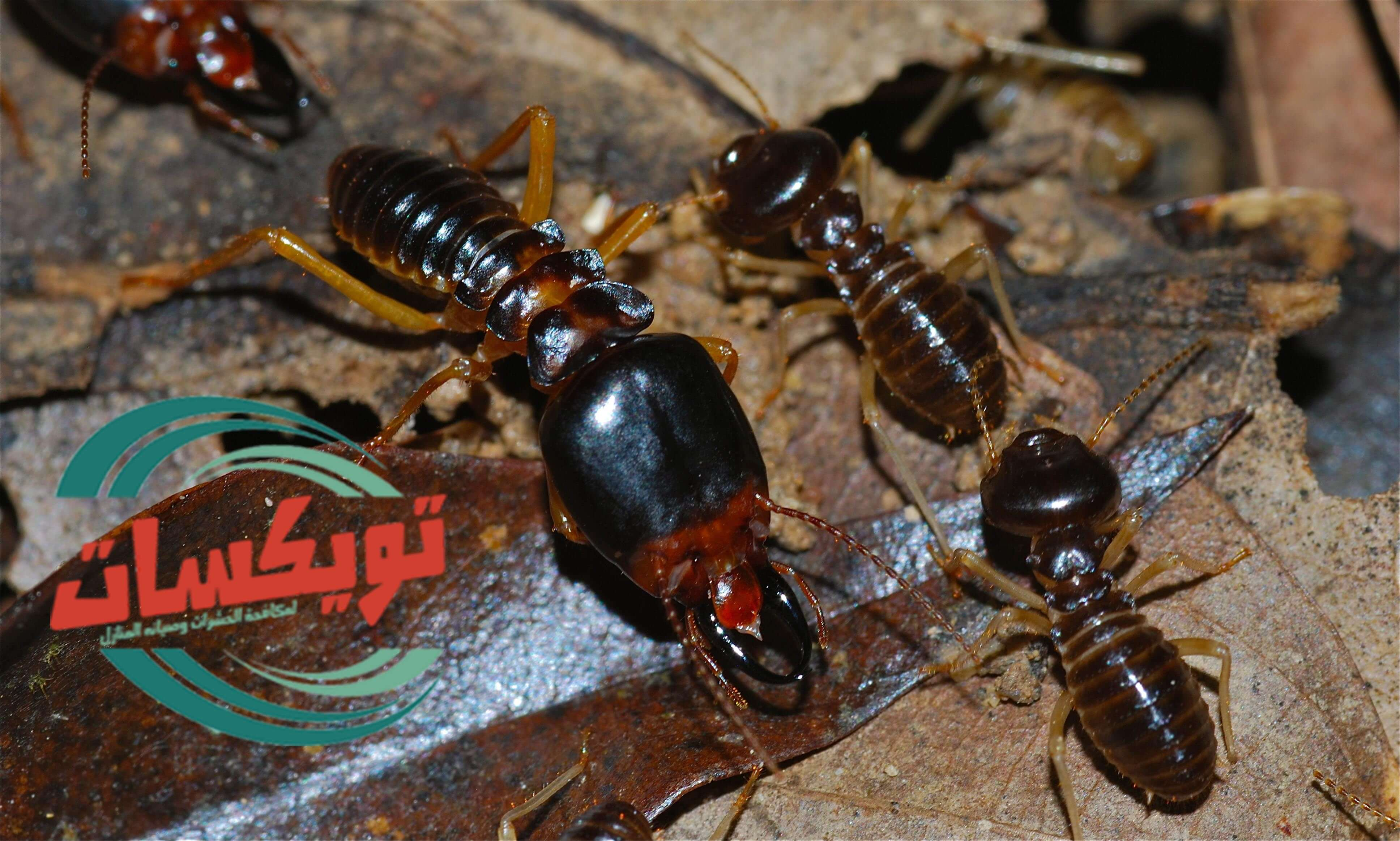 شركة مكافحة حشرات ببيشه