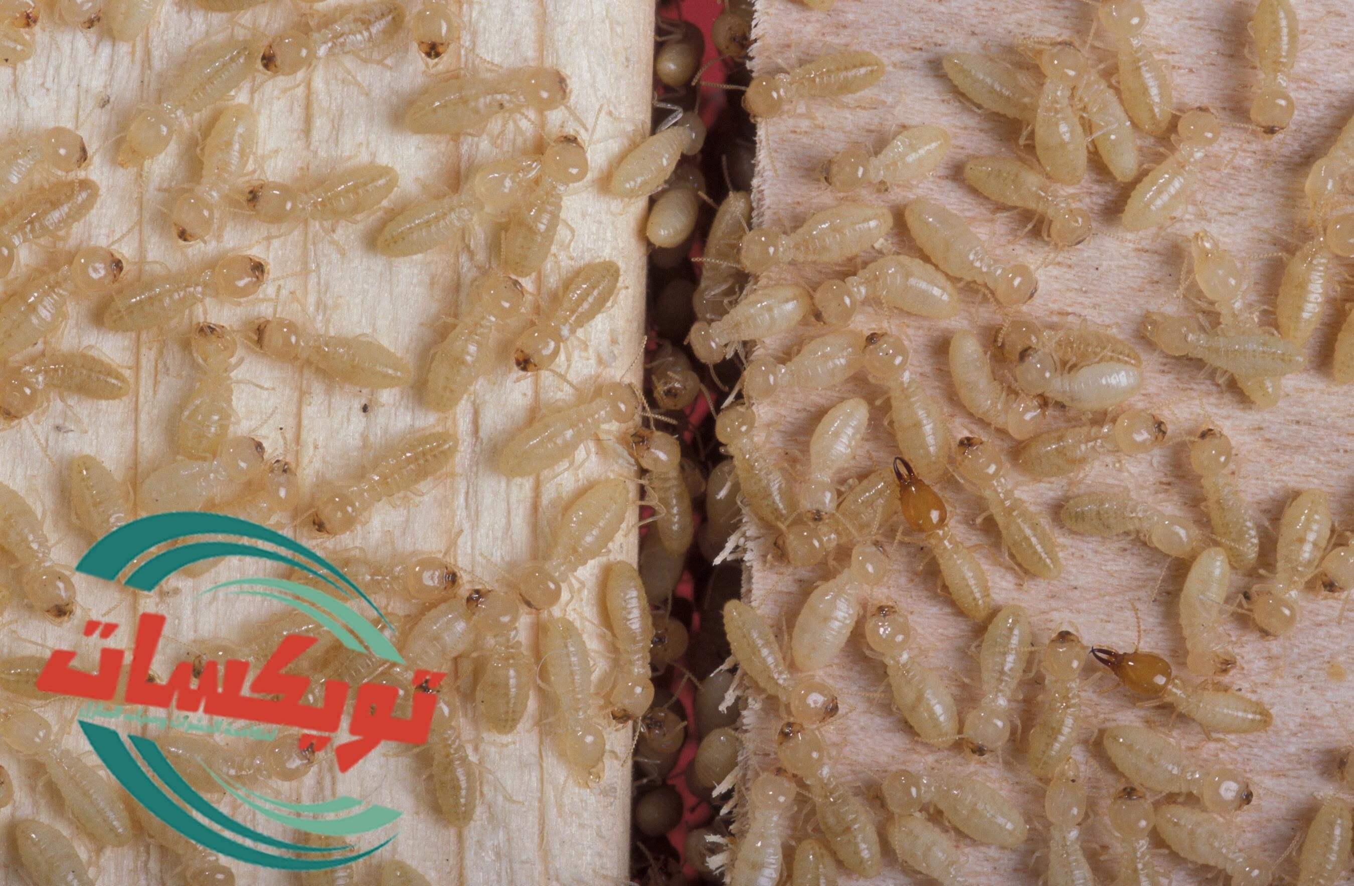 شركة مكافحة النمل الابيض بالرويضه