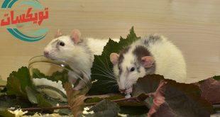 شركة مكافحة الفئران برماح