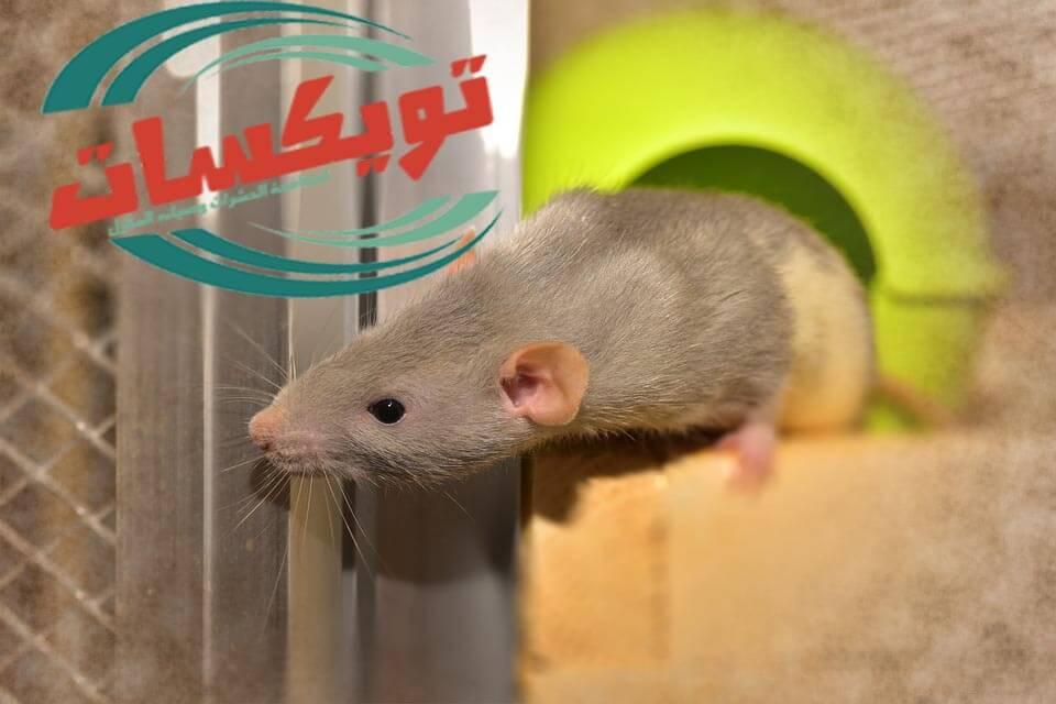 شركة مكافحة الفئران براس تنوره