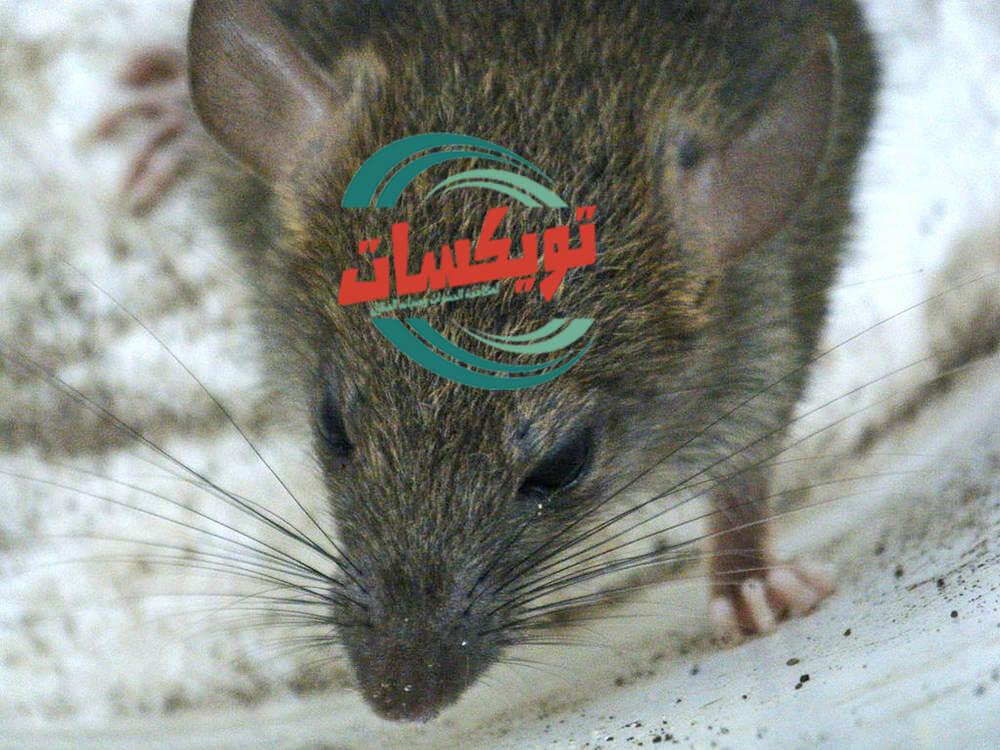 شركة مكافحة الفئران بالحديثه