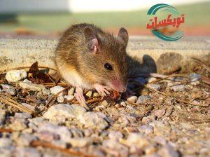 شركة مكافحه الفئران بشمال الرياض