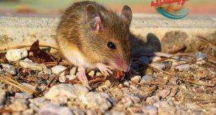 شركة مكافحه الفئران بالمزاحمية