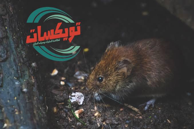Photo of شركة مكافحة الفئران بالقطيف