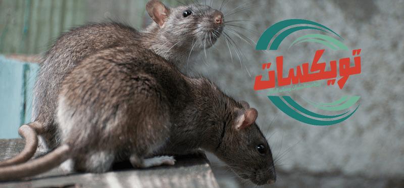 Photo of شركة مكافحة الفئران بجازان