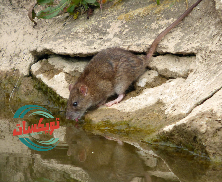 شركة مكافحة الفئران بالخرج